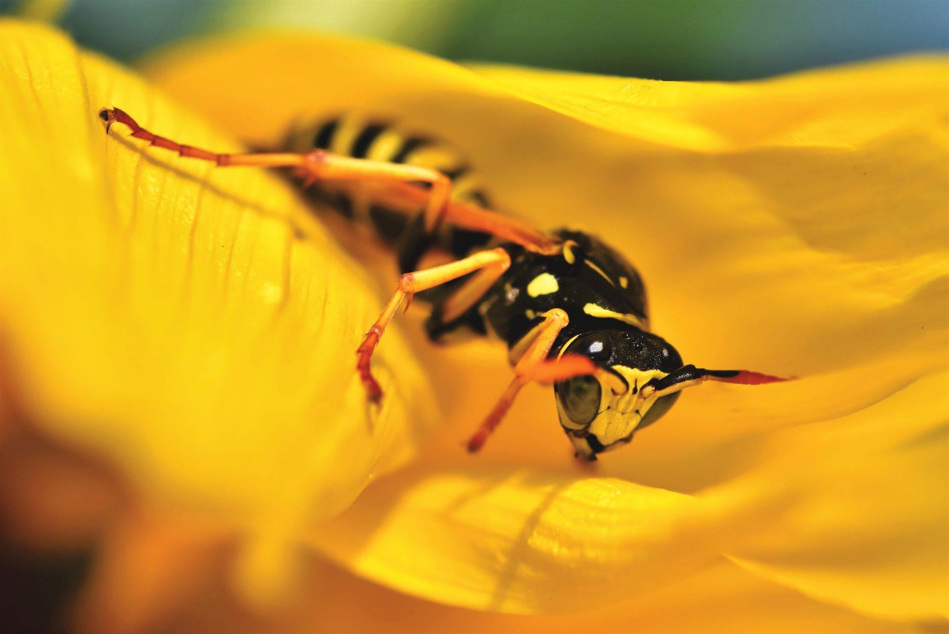 Eerste bestrijdingsacties Aziatische hoornaar in Oost-Vlaanderen door RATO vzw